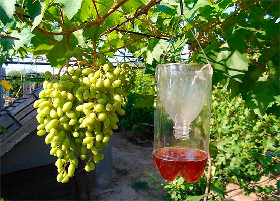 kak-uberech-vinograd-ot-os-6