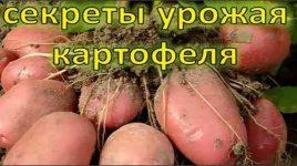Все о выращивании картофеля от а до я 52