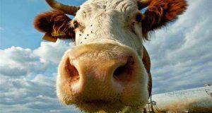 От сглаза коровы