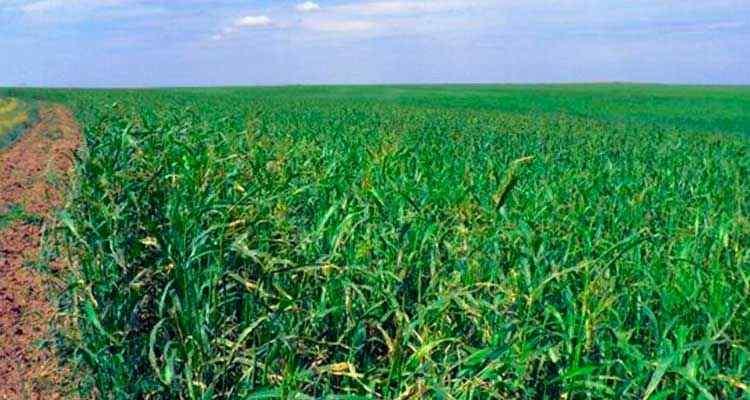 Выращивание суданской травы