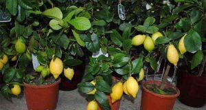 Болезни домашнего лимона