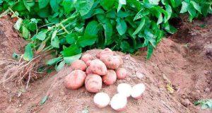 Выращивание картофеля без окучивания