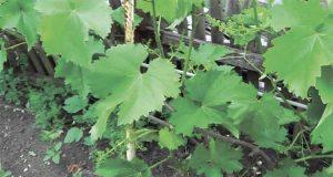 Вегетация винограда