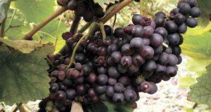 Защита винограда от болезней