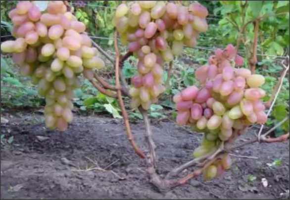 Как правильно формировать виноград?